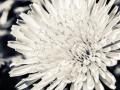 Photographer-Maggie-Yescombe-photo-wall-art-print-dandelion-flower-0531-IMAGE-STOCK.jpg