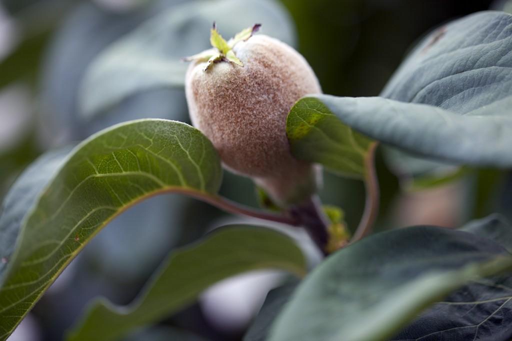 Nature Photography - fruit tree