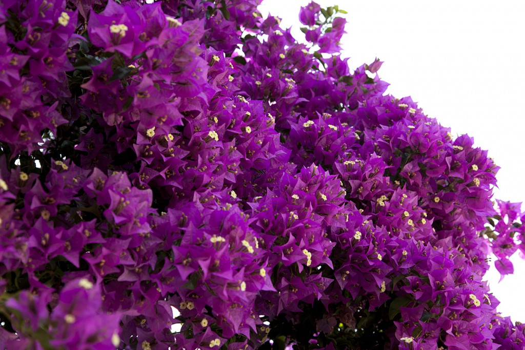photo: purple bougainvillea flowers full bloom in north Corfu, by British Photographer Margaret Yescombe