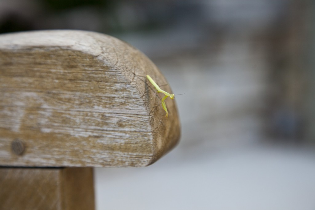 Photo: preying mantis, on arm of wooden chair, corfu