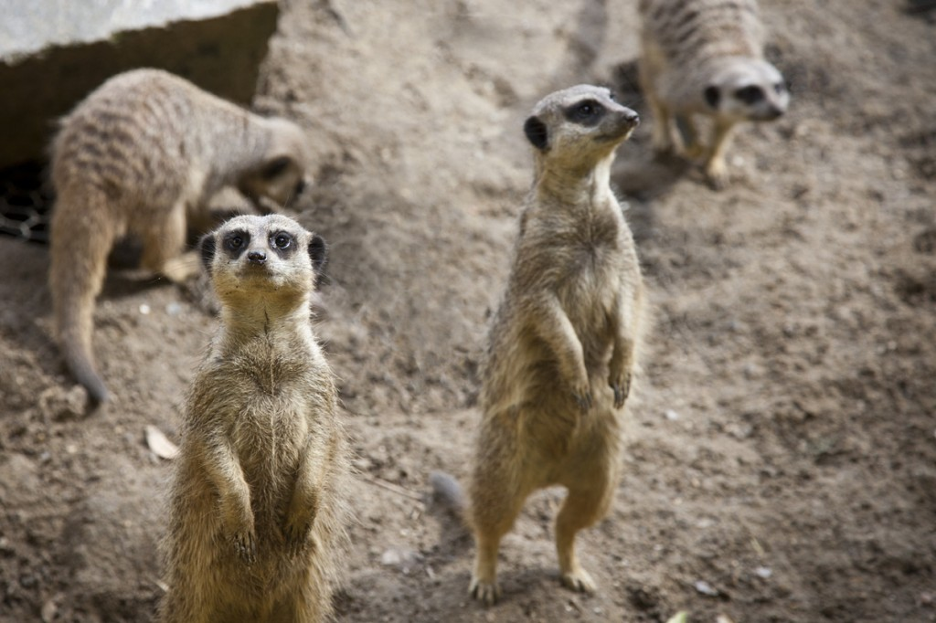 Meerkats looking and digging