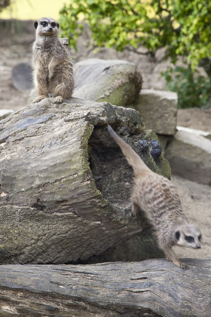 Photo: meerkats, battersea zoo, photographer Margaret Yescombe