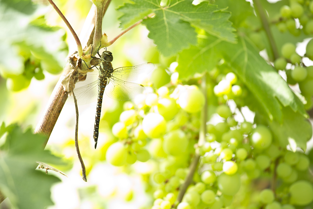 Dragonfly on grape vine in sunshine