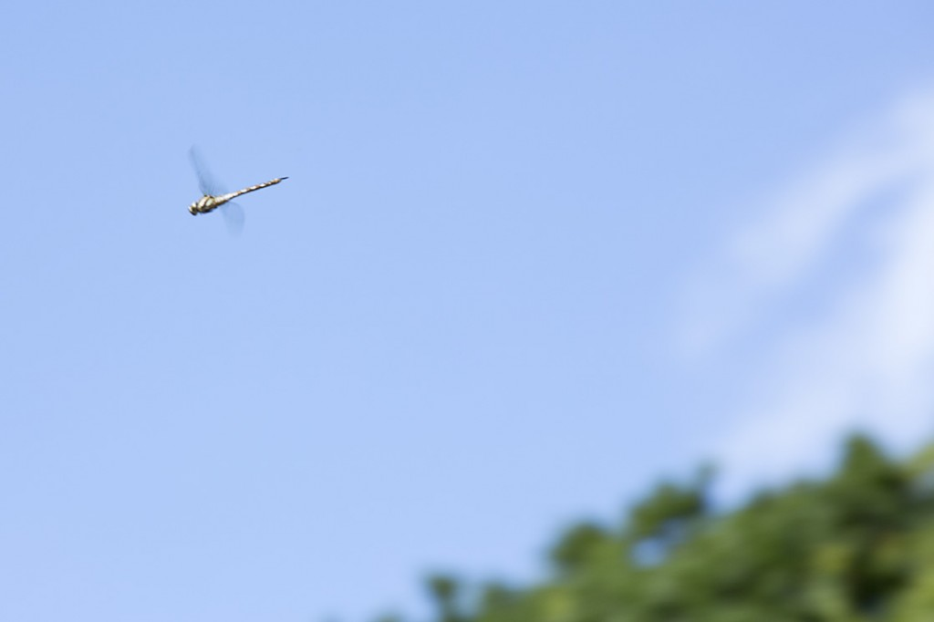 photo: Dragonfly mid flight, British photographer m-yescombe-040813-050-sml