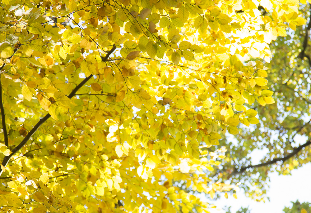 photo: vivid bright yellow leaves, autumn trees, sunshine, by British Photographer London, FO6A0629